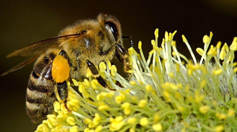pyłek pszczeli jest bardzo ważnym pokarmem dla pszczół