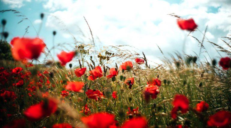 czy pszczoły widzą kolor czerwony kwiatów