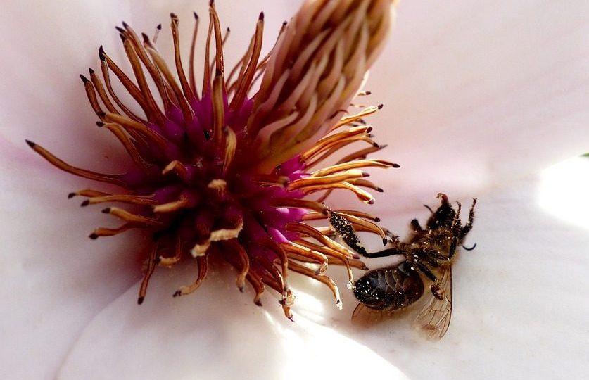 Pestycydy neonikotynoidy trują pszczoły