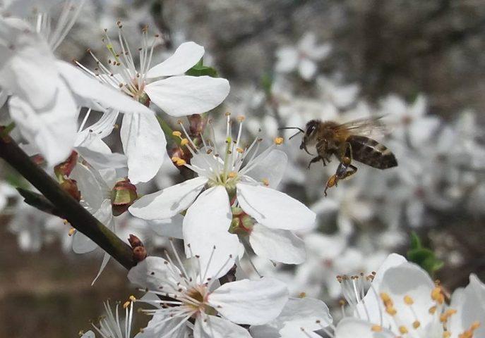 pszczoły zbierają nektar ałycza mirabelka pszczoły i my pasieka