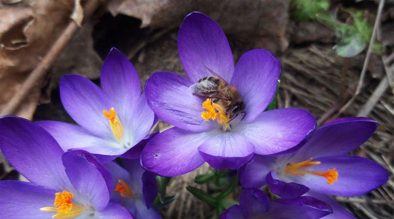 w czasie wiosennych dni pszczoły zbierają nektar i pyłek z krokusów oraz wierzby
