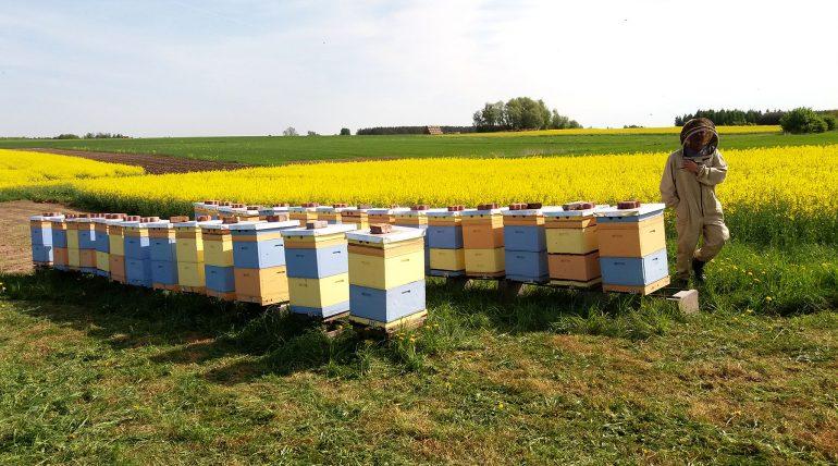 pszczoły zbierają nektar z kwiatów rzepaku kwiecień