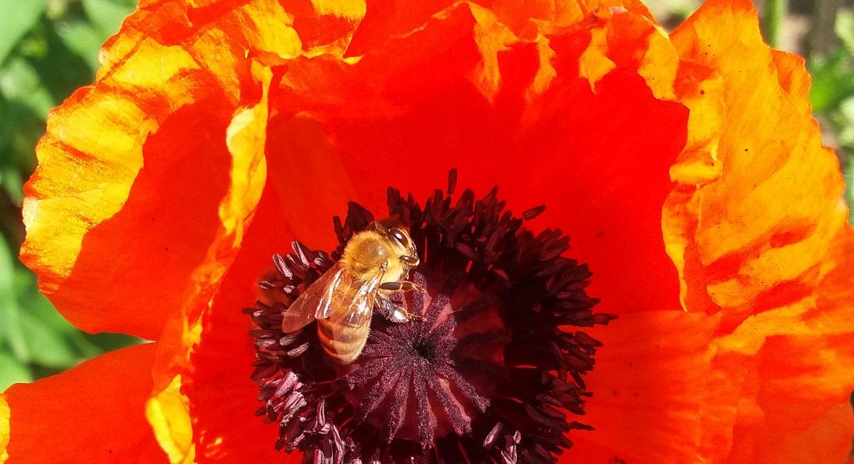 Pyłek kwiatowy zbierany przez pszczoły