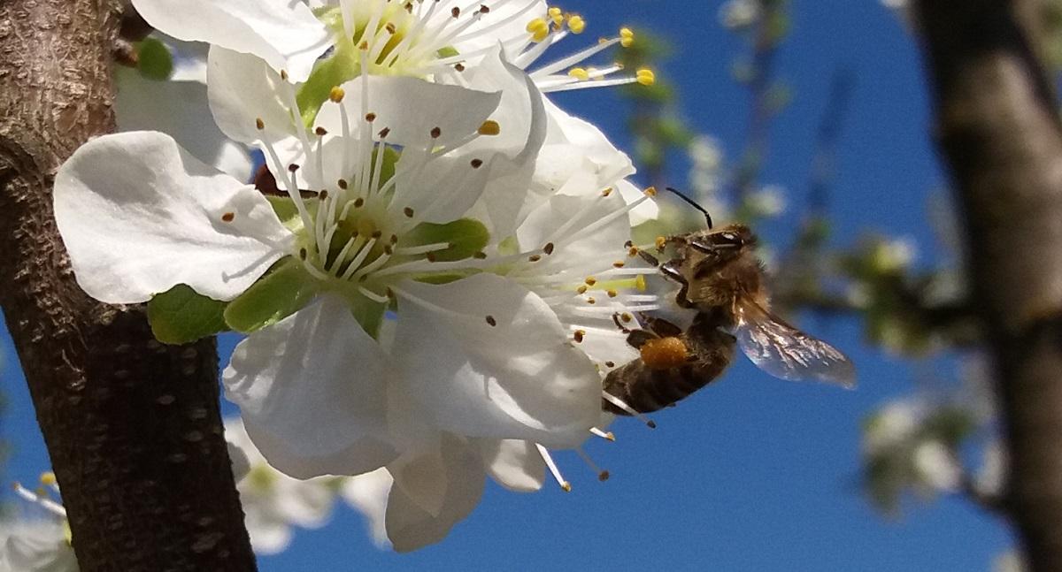 Pyłek pszczeli zbierany przez pszczoły to naturalny i zdrowy produkt