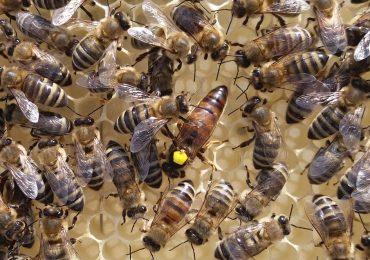 szczepionka działa na pszczoły