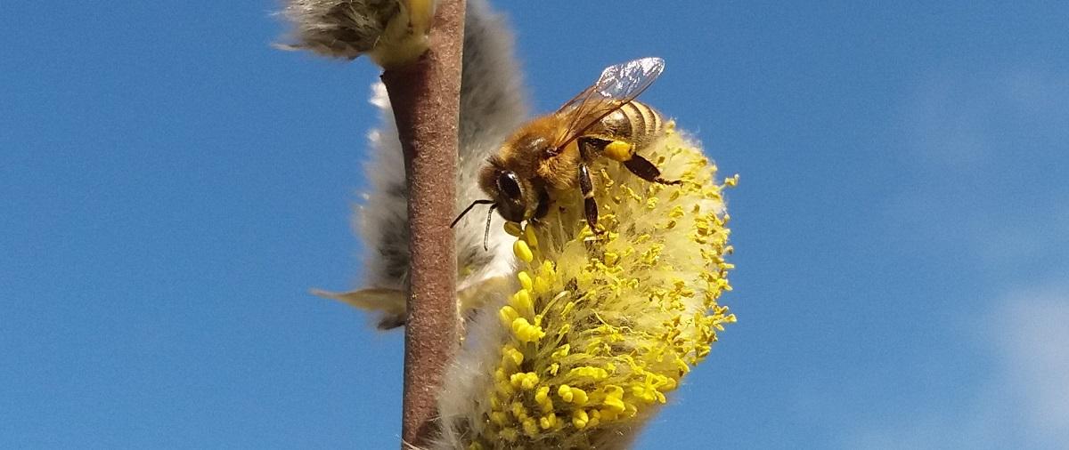 Pasieka pszczołyimy odda bezpłatnie sadzonki wierzby