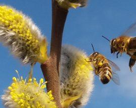 Jak pomóc pszczołom? Pozostaw wierzby pszczołom