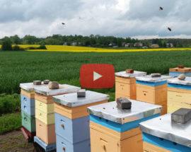 trwają zbiory rzepakowego miodu w pasiece Pszczoły i My