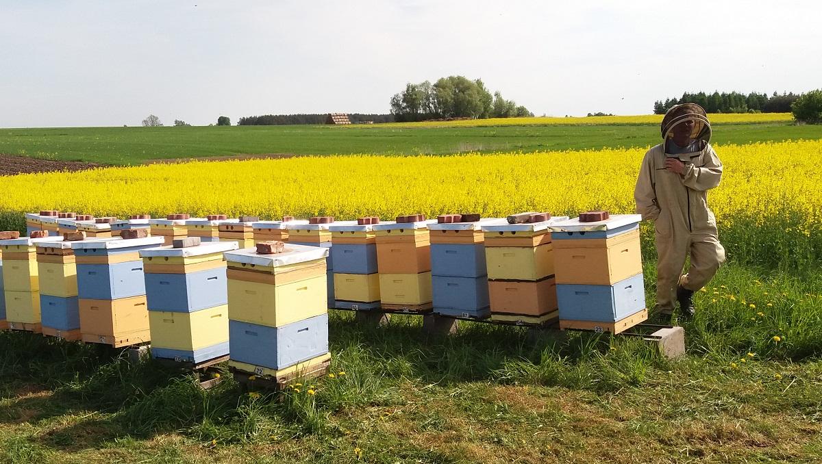Pasieka Pszczoły i My miód rzepakowy pszczoły