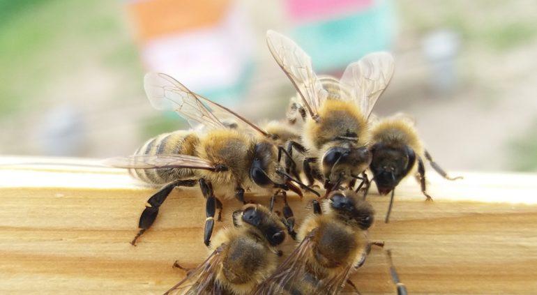 Co dalej z pszczołami? Naukowcy chcą zastąpić je w produkcji miodu