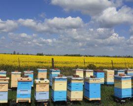 Pasieka wędrowna. Ule przy plantacji rzepaku. Pasieka Pszczoły i My