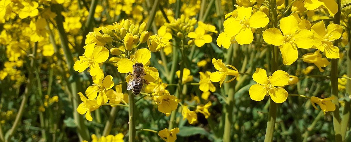 Pszczoła w kwiatach rzepaku