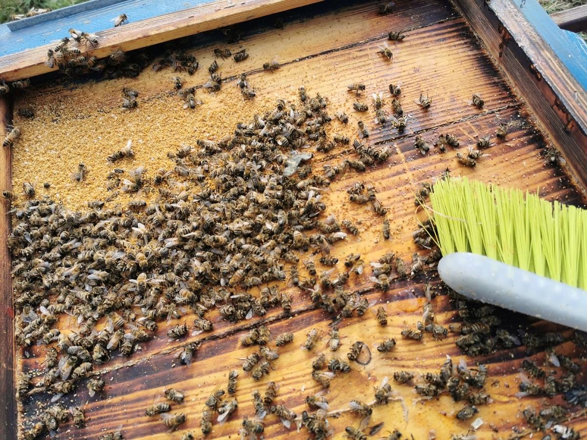sprzątanie uli zimą w pasiece, czyszczenie dennicy
