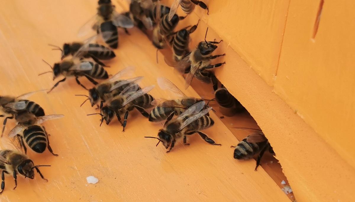 Pszczoły pomogą zwalczyć pandemię Covid-19?