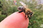 Pszczoły są w stanie wykryć wirus Sars-CoV-2